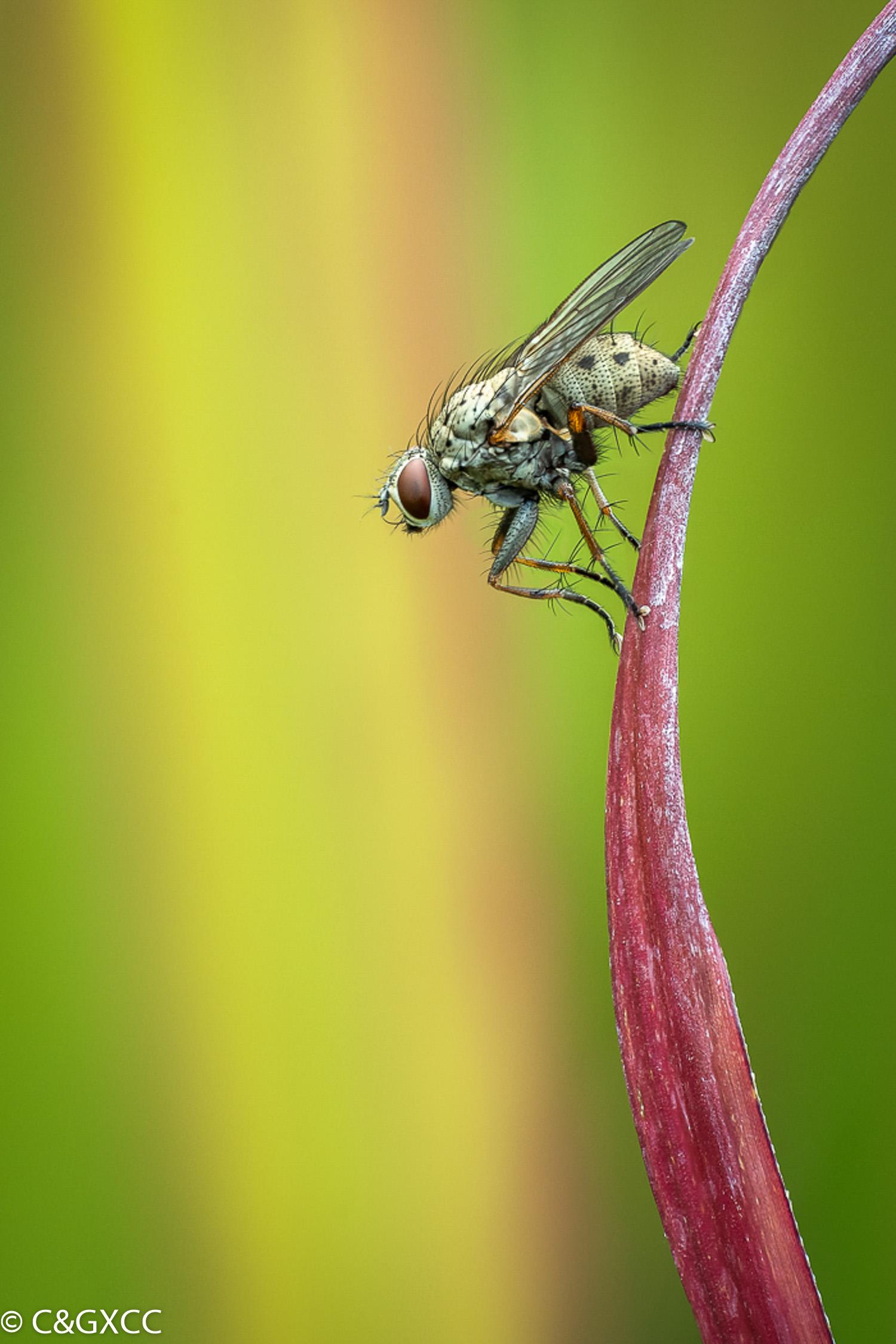 Fly Resting On Ornamental Grass by Barry Webb LRPS  Winner Malcolm Freeman Trophy for Wildlife - PDI