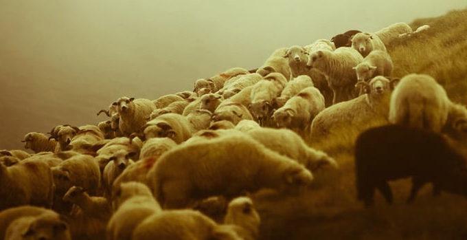 sheep-pastor-680x349.jpg