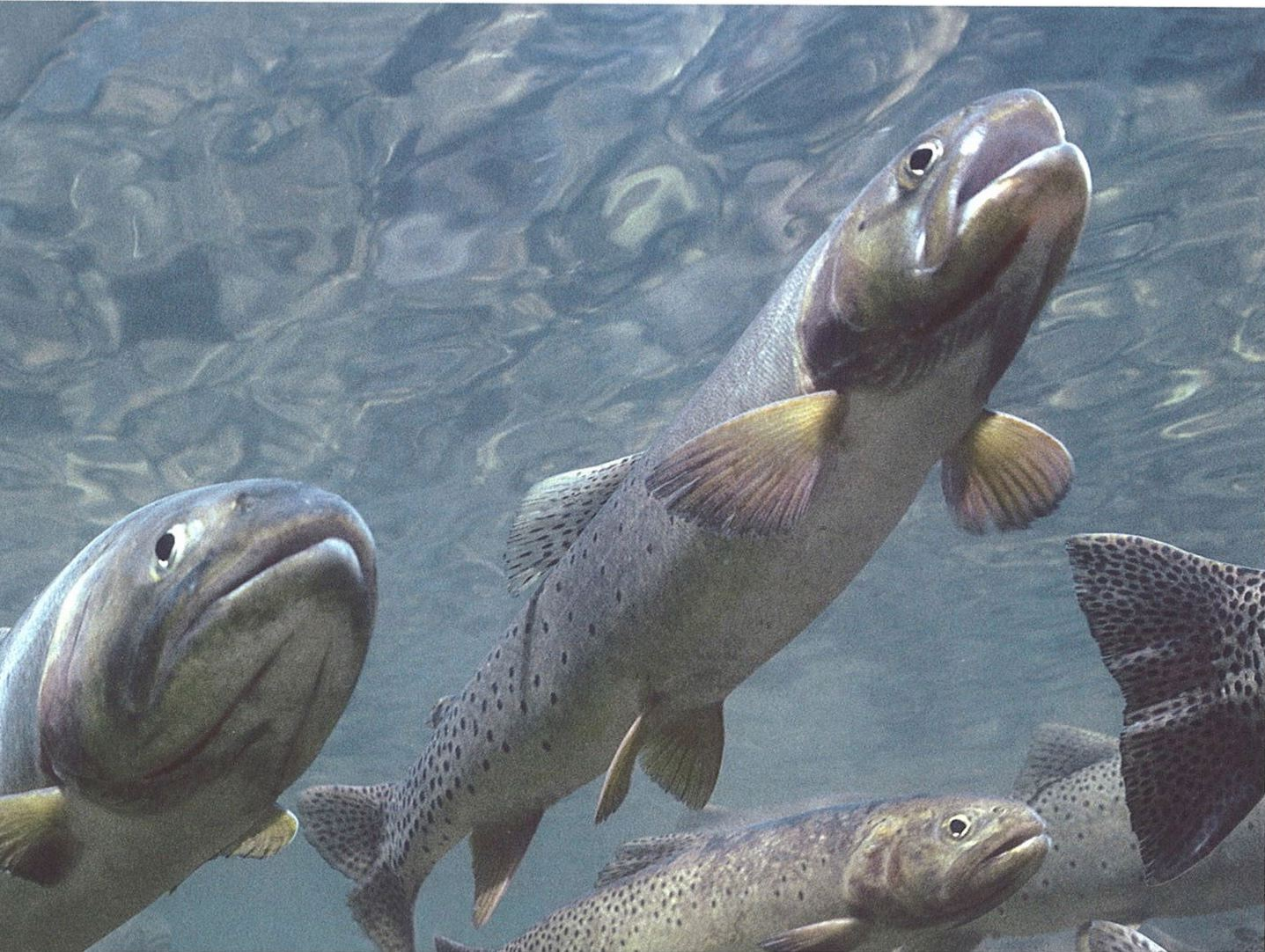 Trout in water - Tom Murphy.jpg