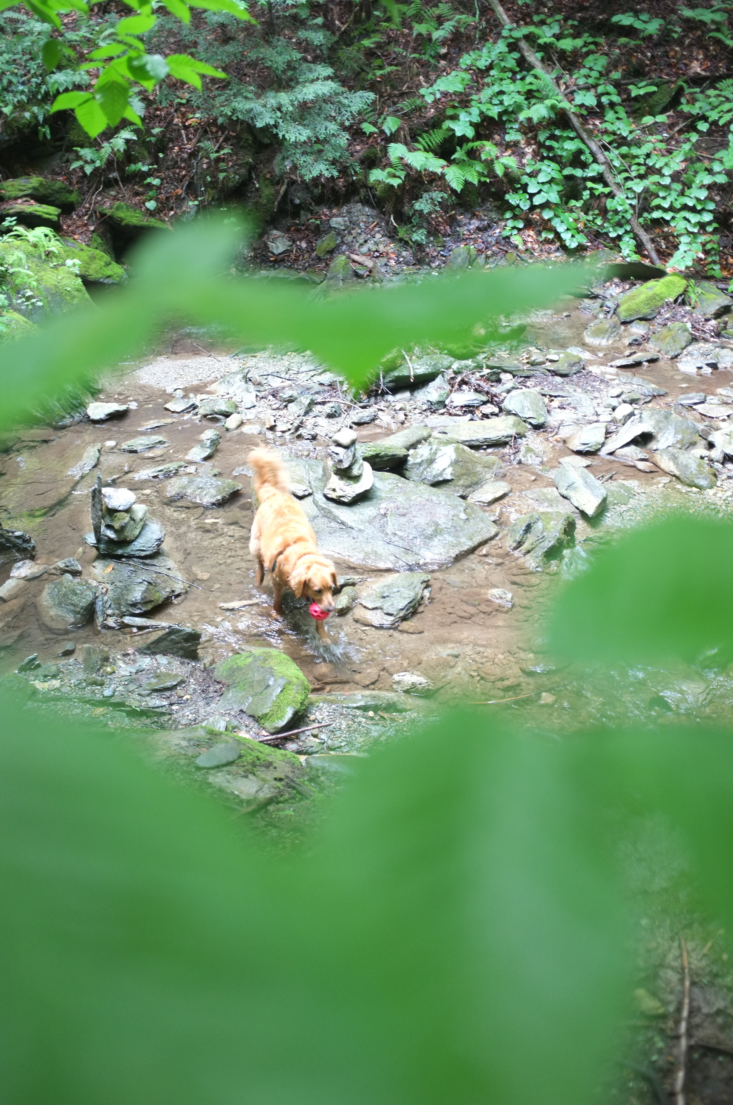 Elsie cooling off in the stream at Steven's Glen.
