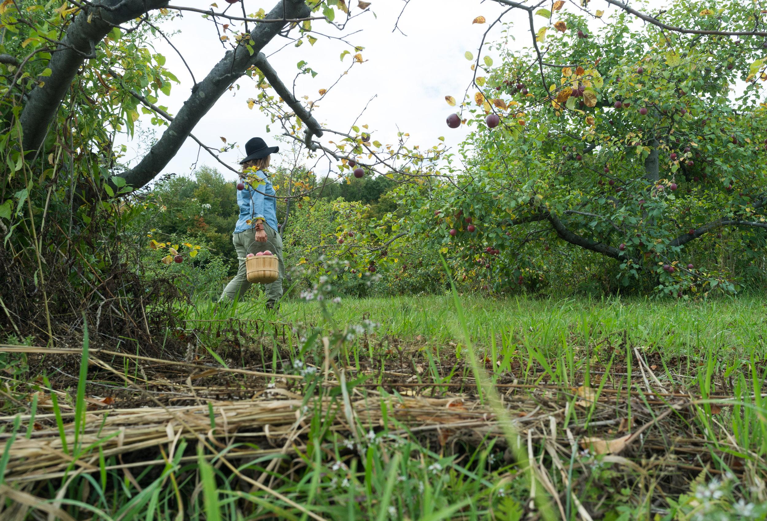 Walking along the aisles of apples.