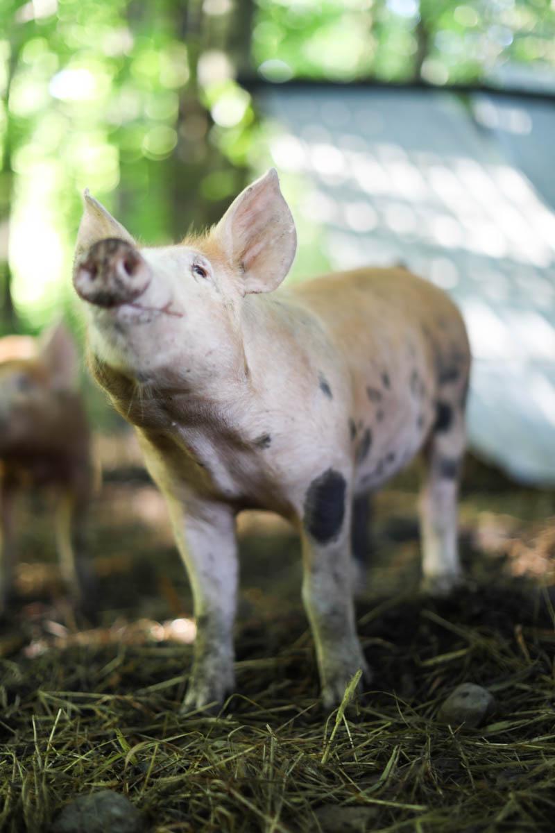 Babe pig on the farm!