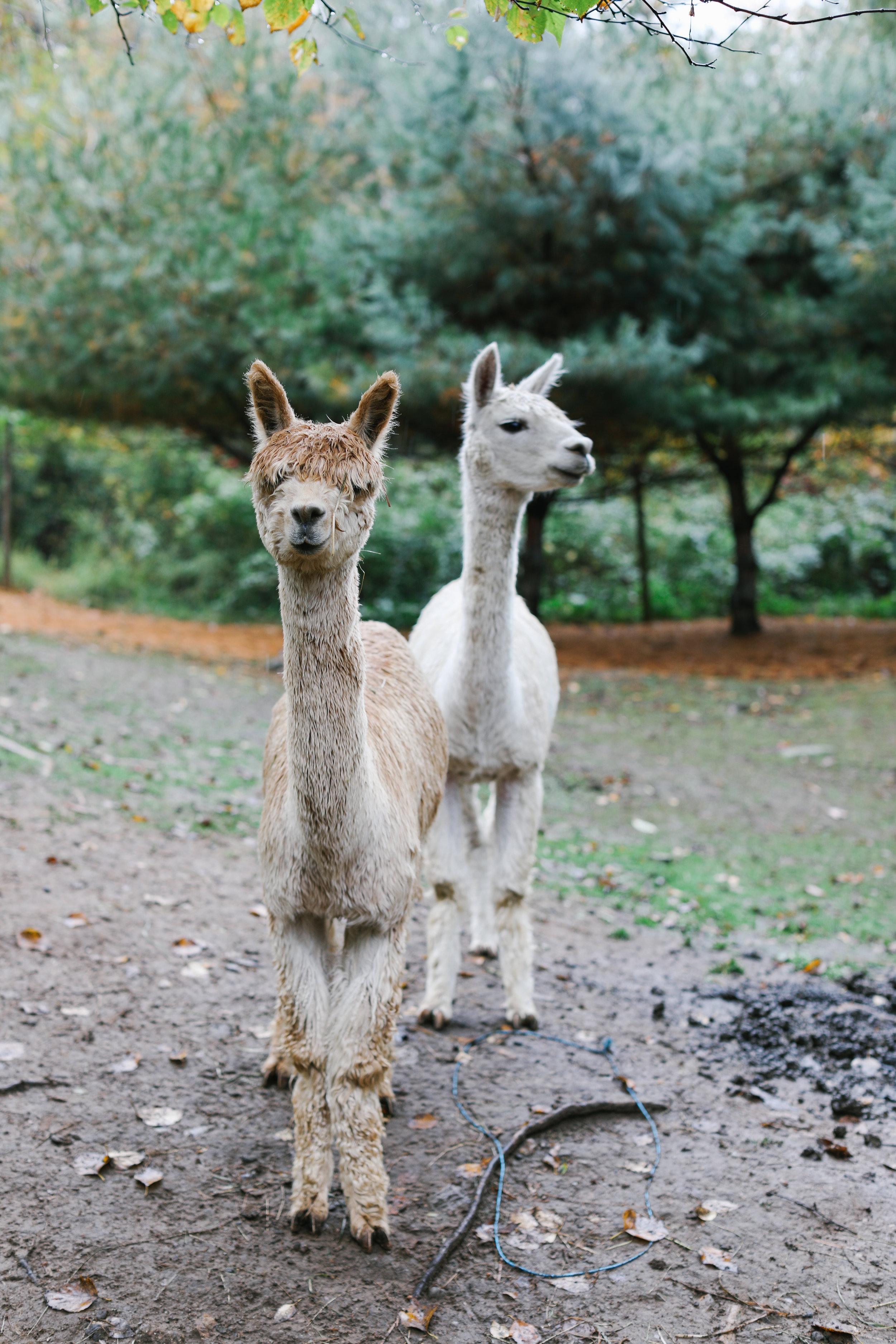 Suri alpacas!