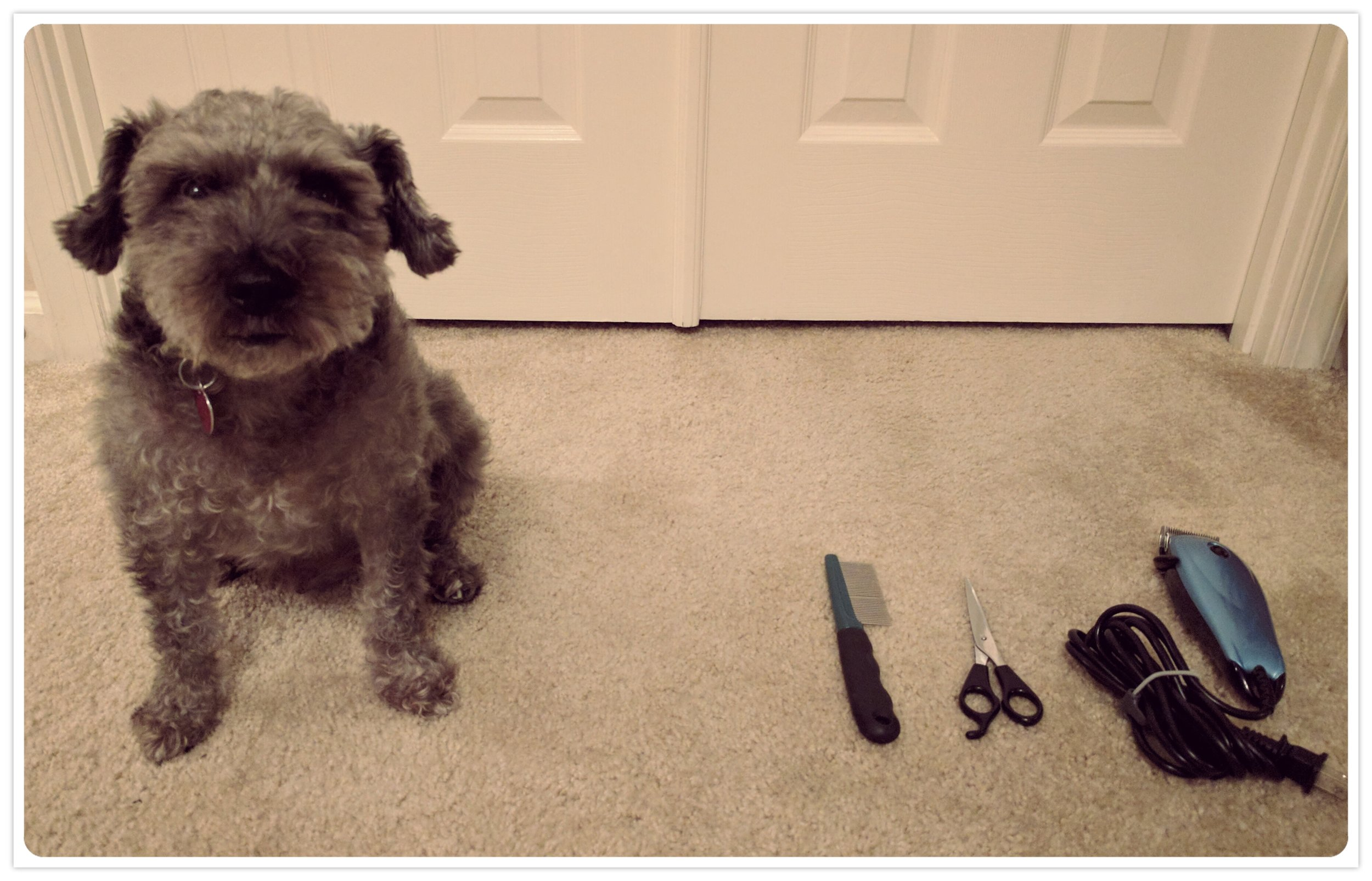 T-dog's sad face. Grooming our schnoodle myself is a great way to be frugal, but T-dog considers the grooming kit to be the tools of his oppression. Just being forced to sit near them for this picture sent him into the depths of despair.