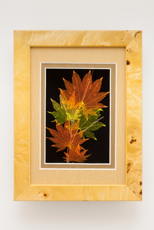 5x7 Shadowbox Japanese Shirasawanum