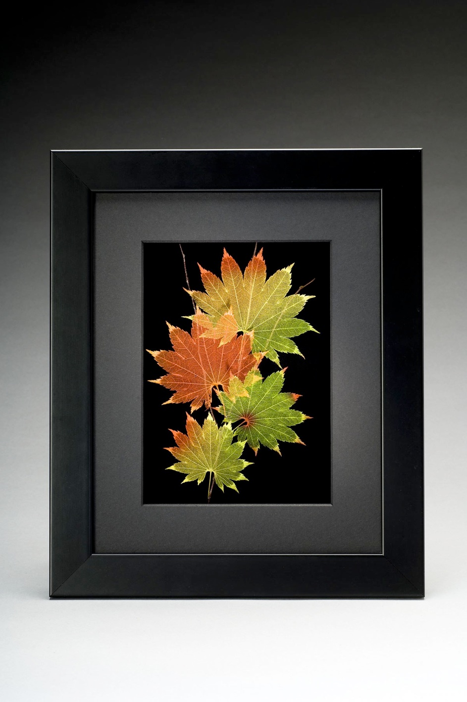 Shadowbox 8x10 Shirasawanum Japanese Maple