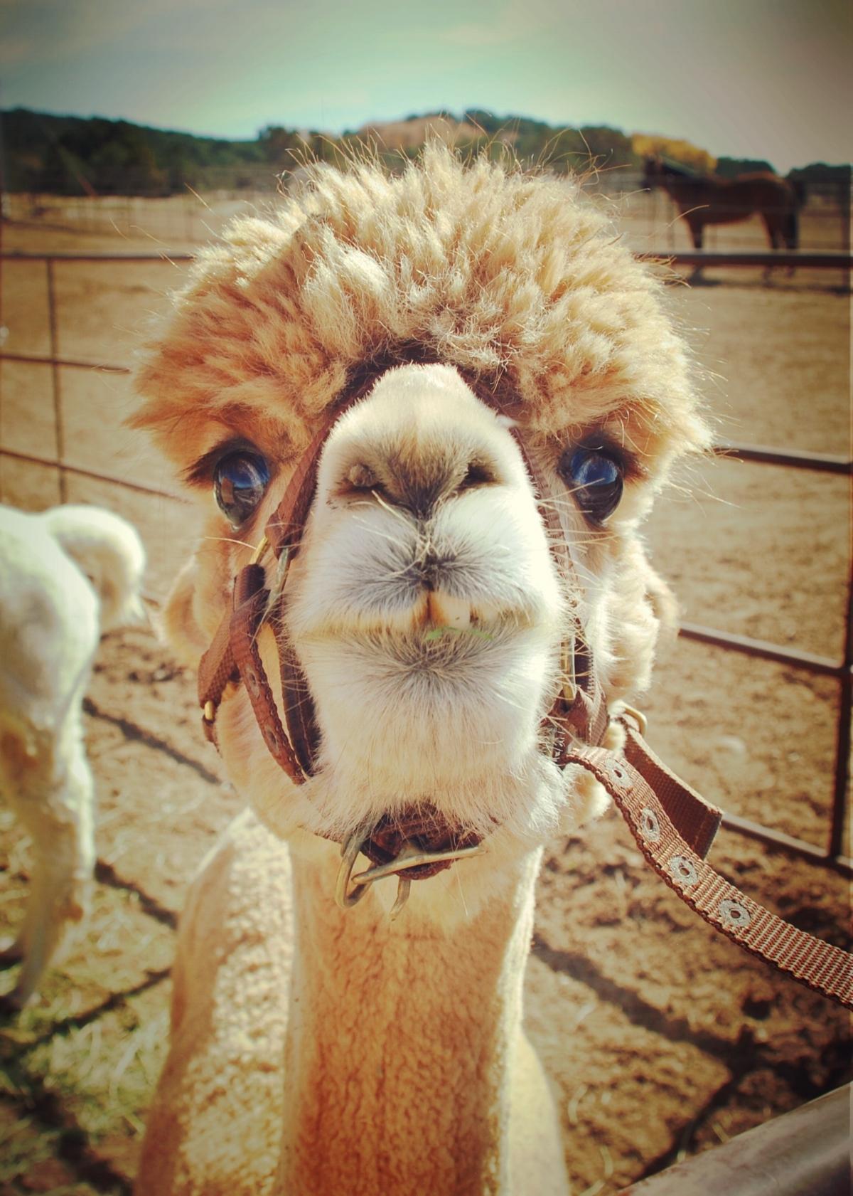 alpaca - tricia.jpg