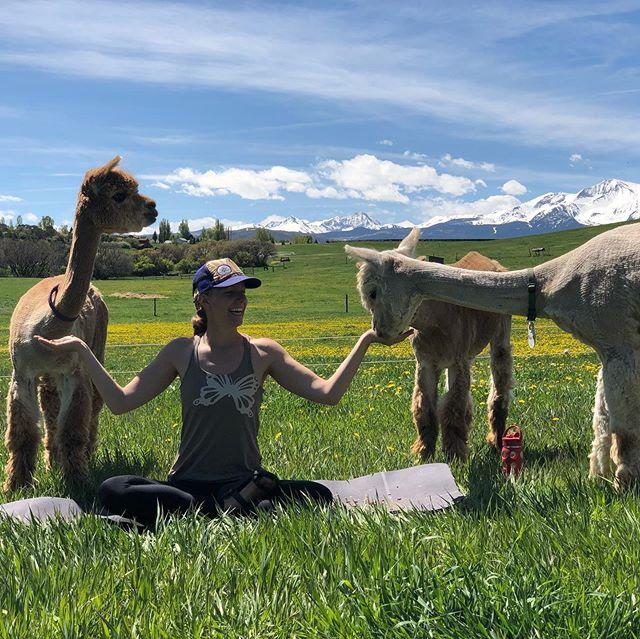 "We had a fabulous Memorial weekend ""Apaca Yoga"" session with @emileeofthepine. @cedarridgeranch #alpacasofinstagram #alpacayoga #glamping #hipcamp #glampinghub"