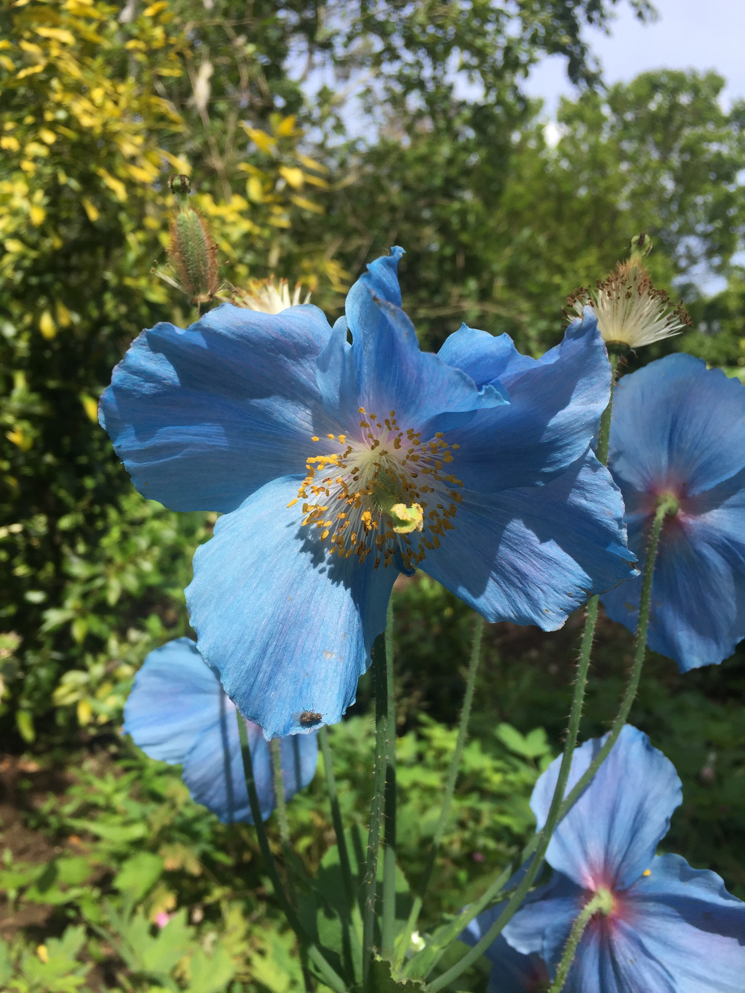 The Himalayan Poppy. The only truly blue flower?
