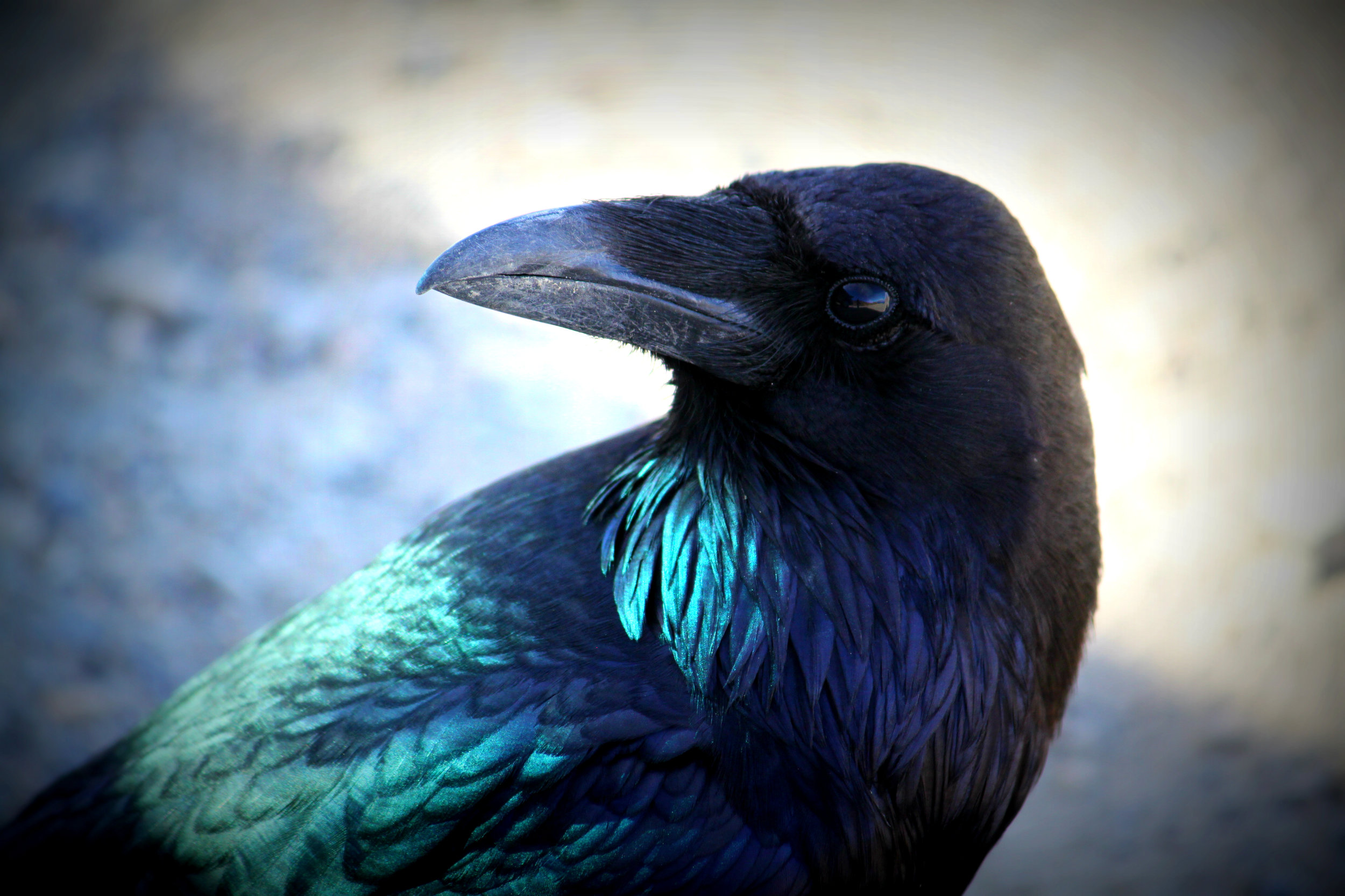 Raven in Death Valley. Photo credit me (Elisabeth Kauffman) 2015