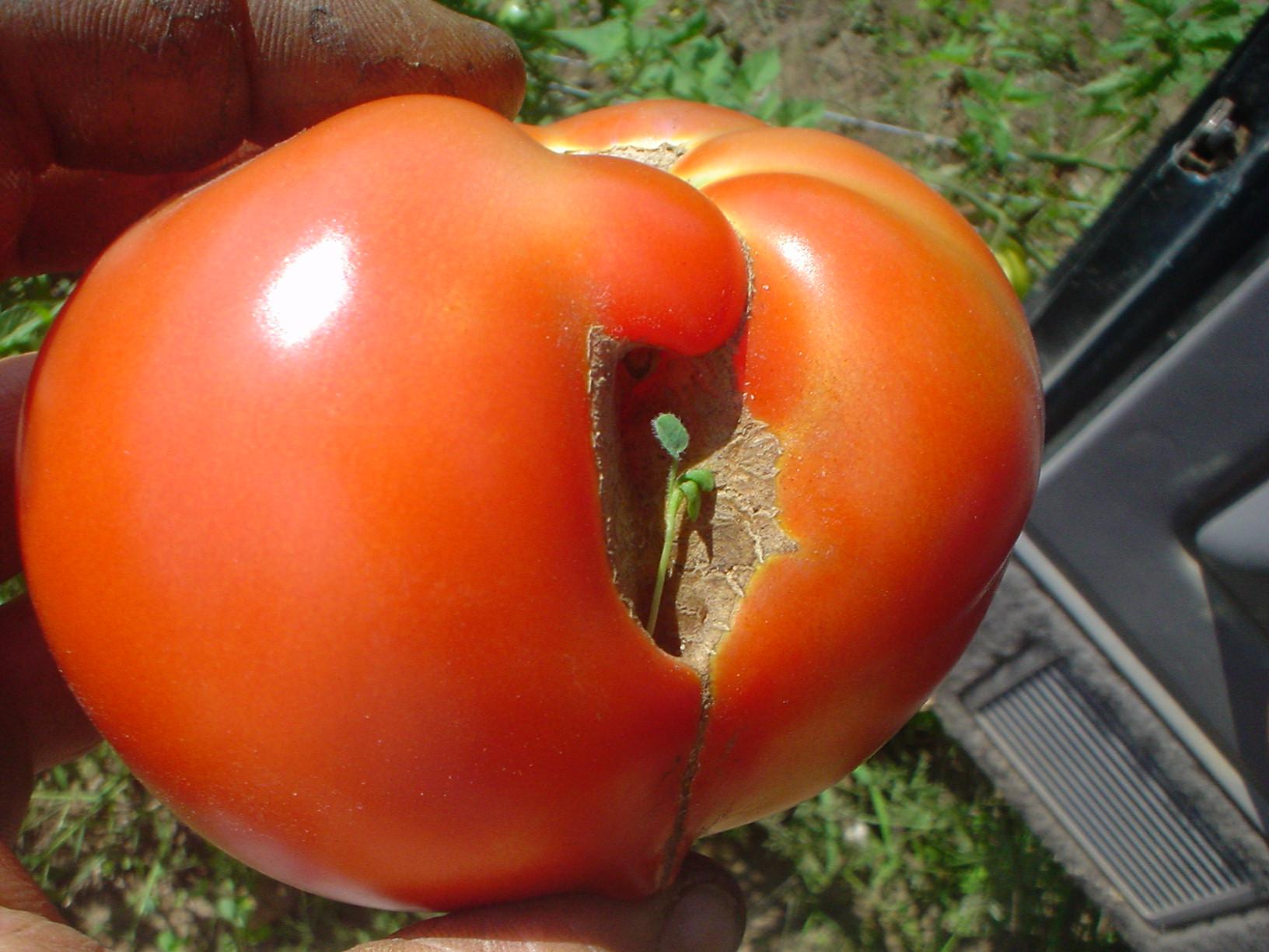 tomato in a tomato.jpg
