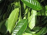 Guaysusa plant