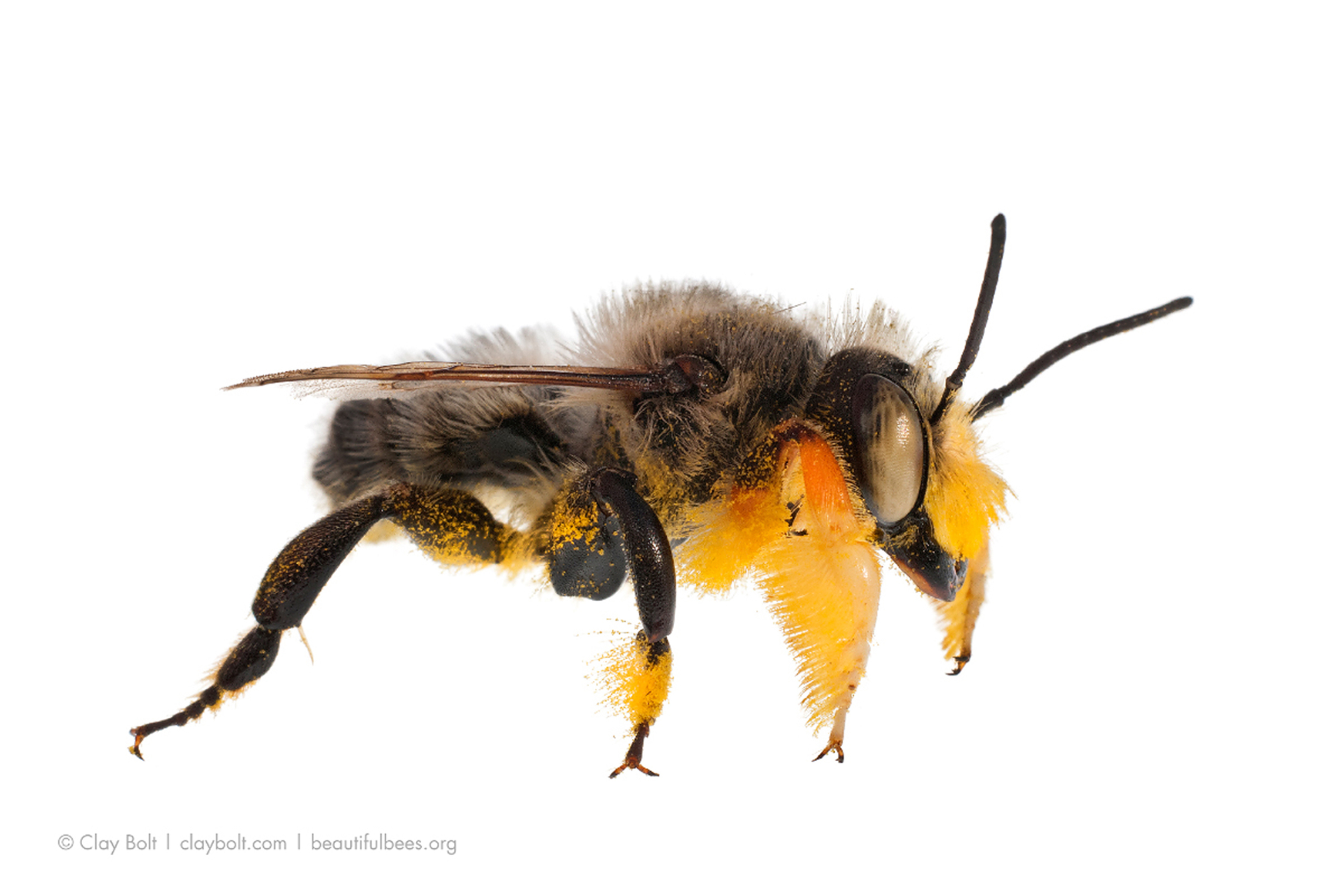 Fuzzy-legged Leafcutter Bee ( Megachile melanophaea ), Curtis Prairie, University of Wisconsin-Madison Arboretum