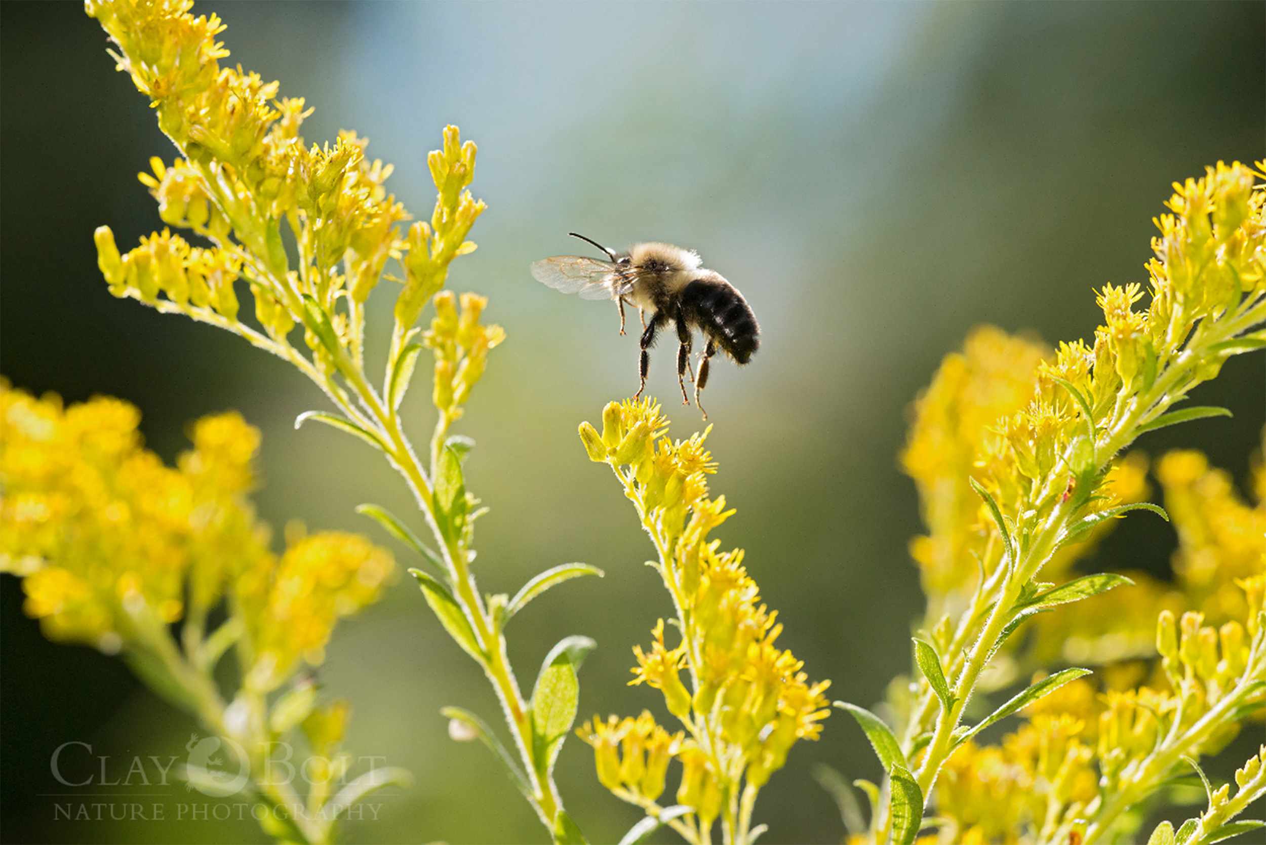 A common eastern bumble bee ( Bombus impatiens ) takes flight from a goldenrod in autumn, University of Wisconsin-Madison Arboretum