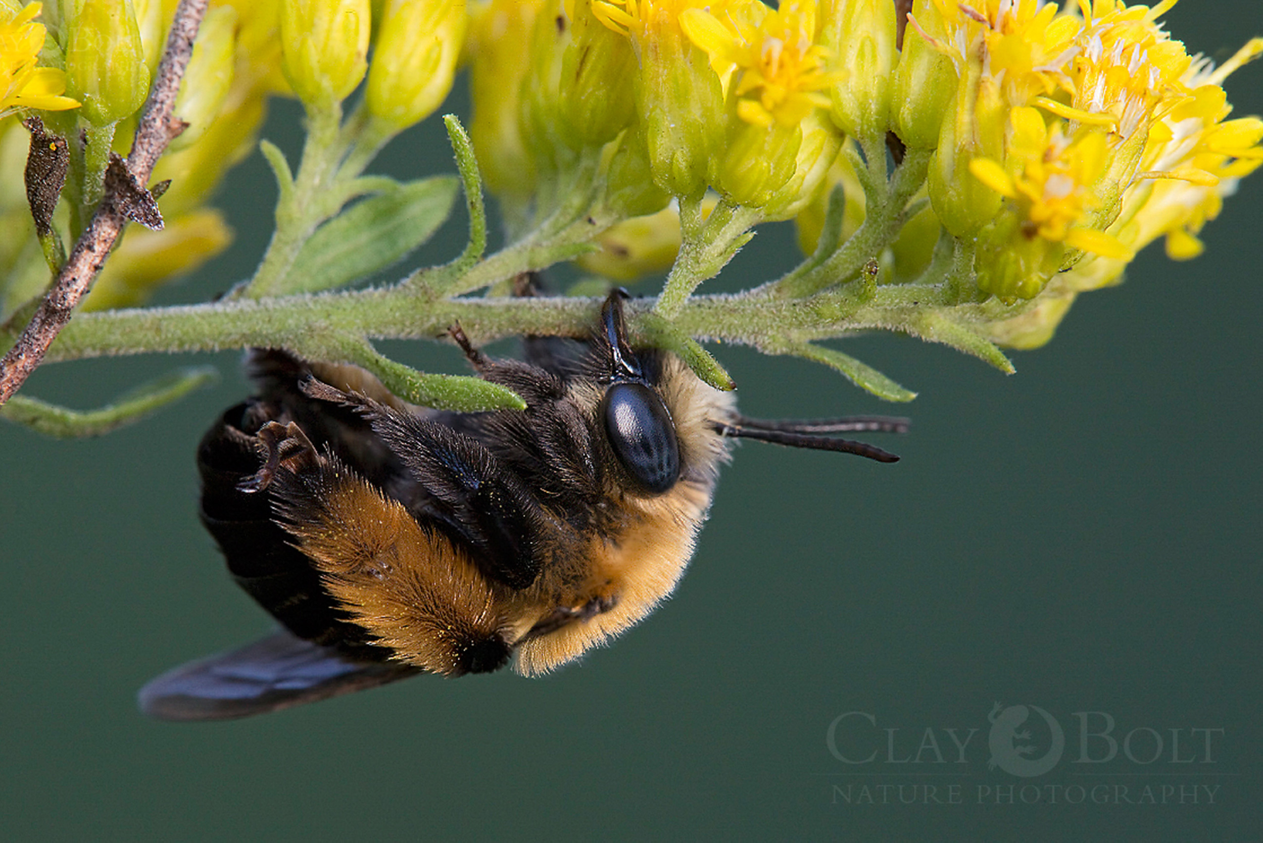 Thistle Lonhorned Bee ( Melissodes desponsa ), preparing to rest for the night on a goldenrod, Pickens, South Carolina