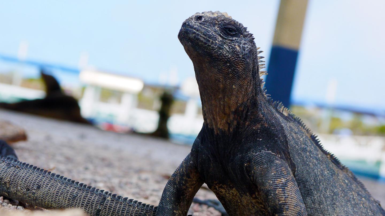 itinerary_lg_Ecuador-Galapagos-Santa-Cruz-Marine-Iguana-Norbert-Knops-2013-P1090153-Lg-RGB-web.jpg