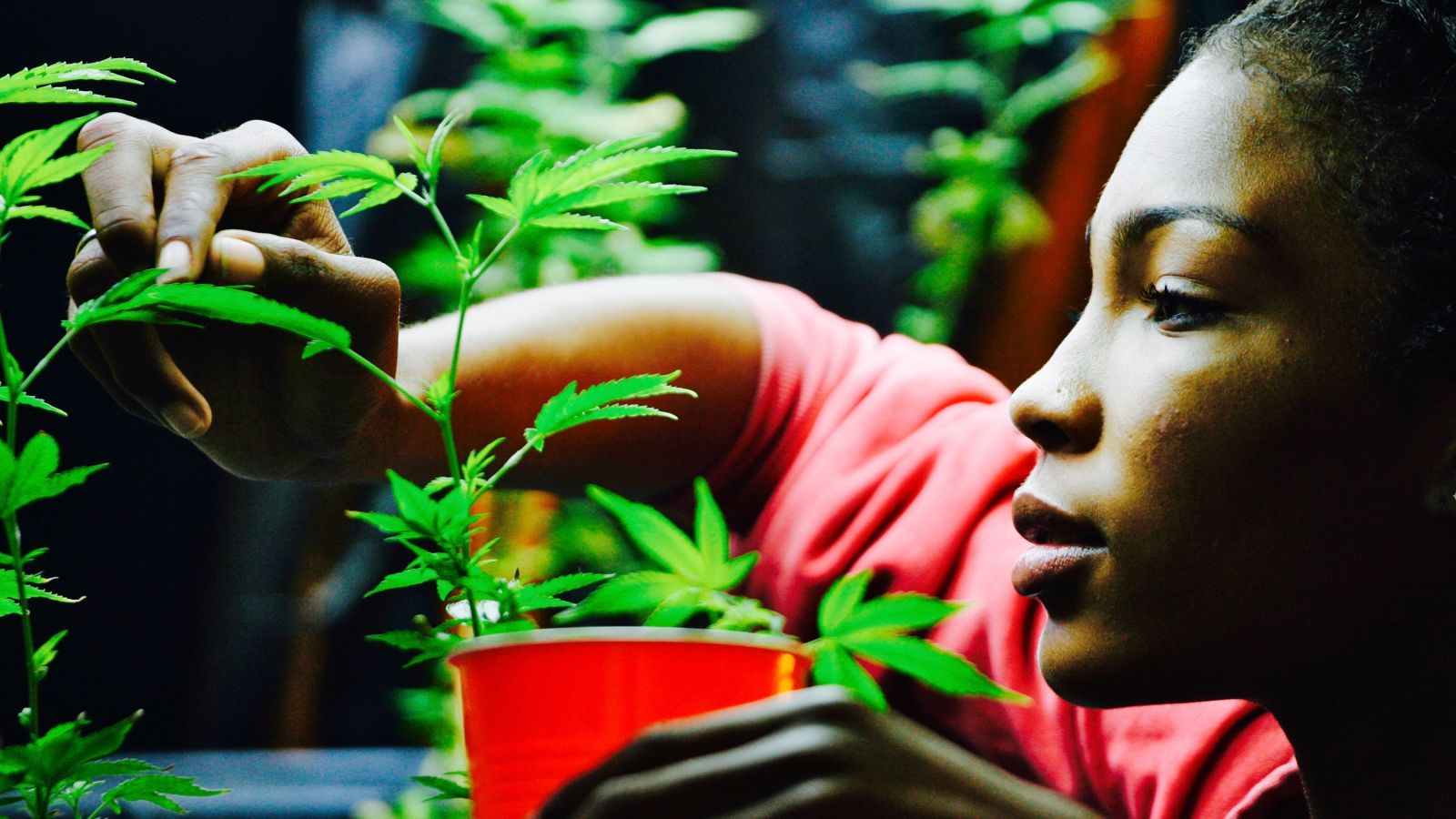 Photo:Tending cannabis plants is an ancient traditions for women. (Reuters/Jonathan Alcorn)