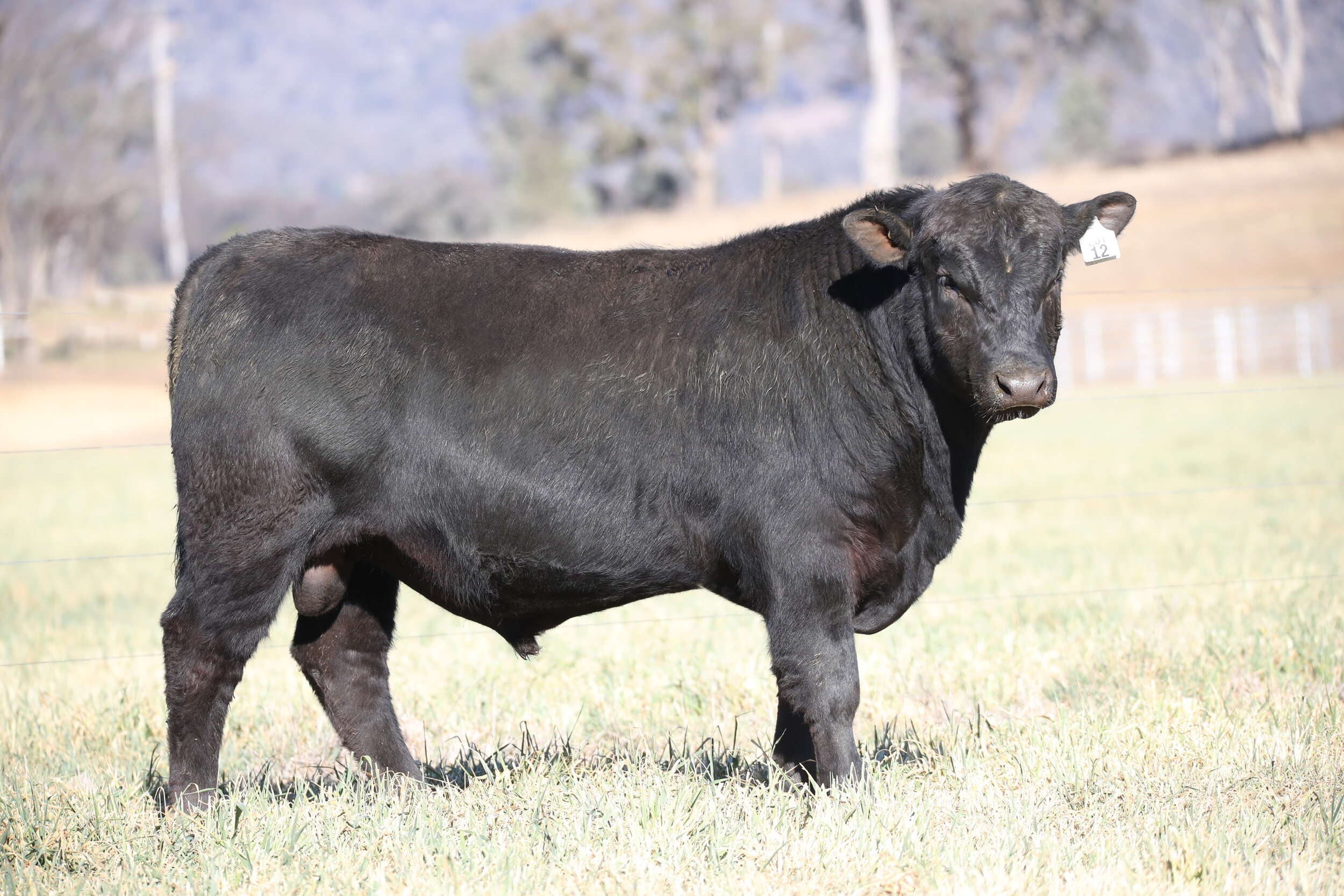 Coffin Creek Pacific P97 who sold for $8000 in 2019. Sire: Millah Murrah Lakeside L69