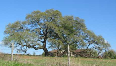 Live Oaks are a good alternative & much hardier for the area