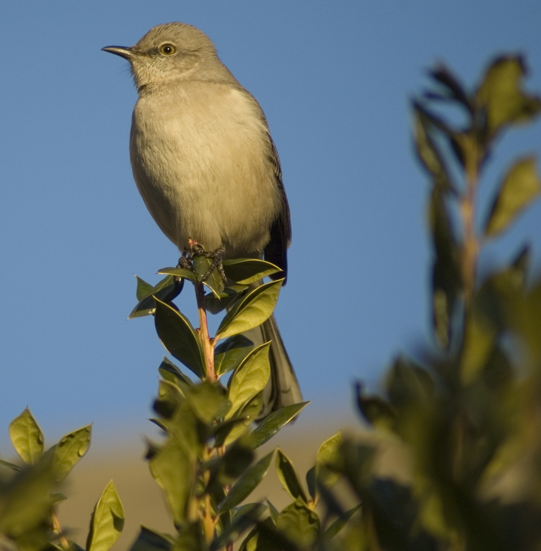 Northern Mockingbird (Mimus polyglottos) - 2010