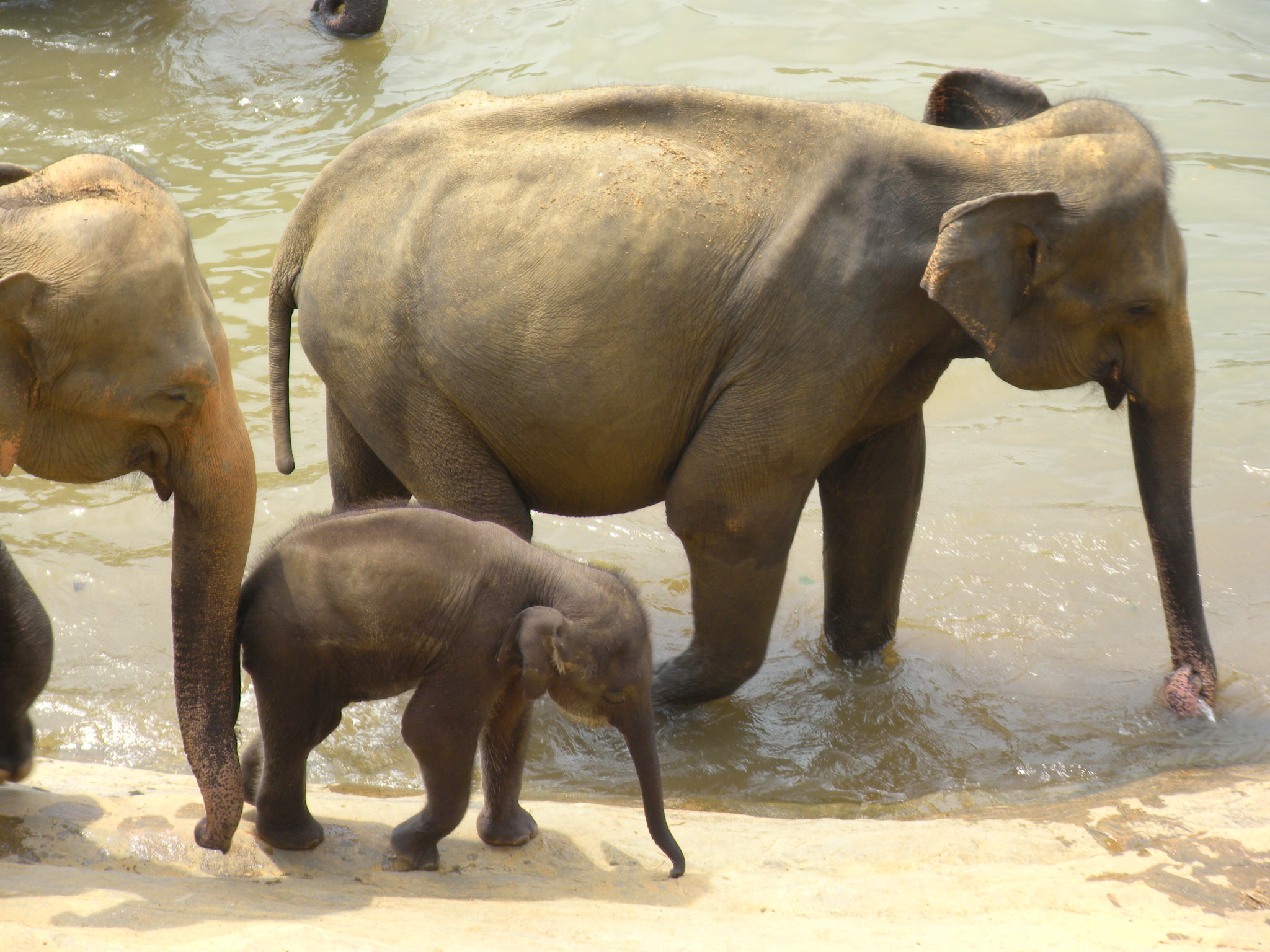 In Sri Lanka at Pinnawala elephant orphanage. That baby elephant was playing and going under water using its trunk like a submarine periscope to breathe. Ecology and wild animal care is a big area of focus in Sri Lanka