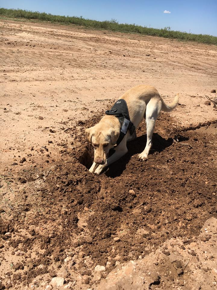 Pipe Dogs Inc. dogs just found a leak in 3.5 mile of 10 inch new construction near Midland Texas. Once our scent injection was complete, it took the dog less then 10 minutes to locate and pinpoint the leak.