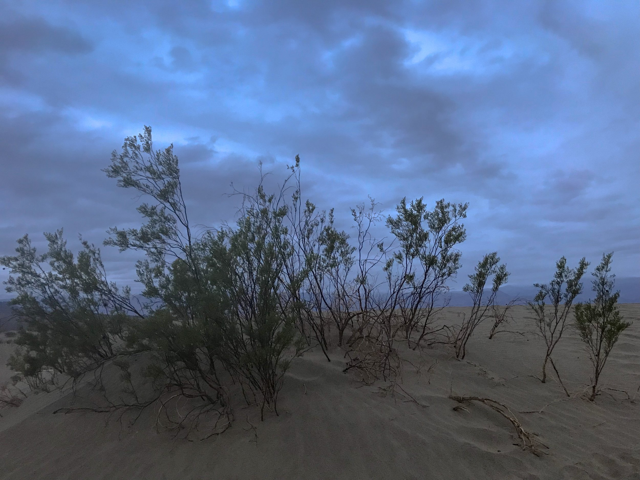Just a few of the shrubs found among the Mesquite Flat Sand Dunes.  Photo By: Nichole McDaniel