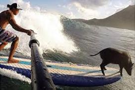 Kama-Surfing-Pig-Hawaiian-Ola.png