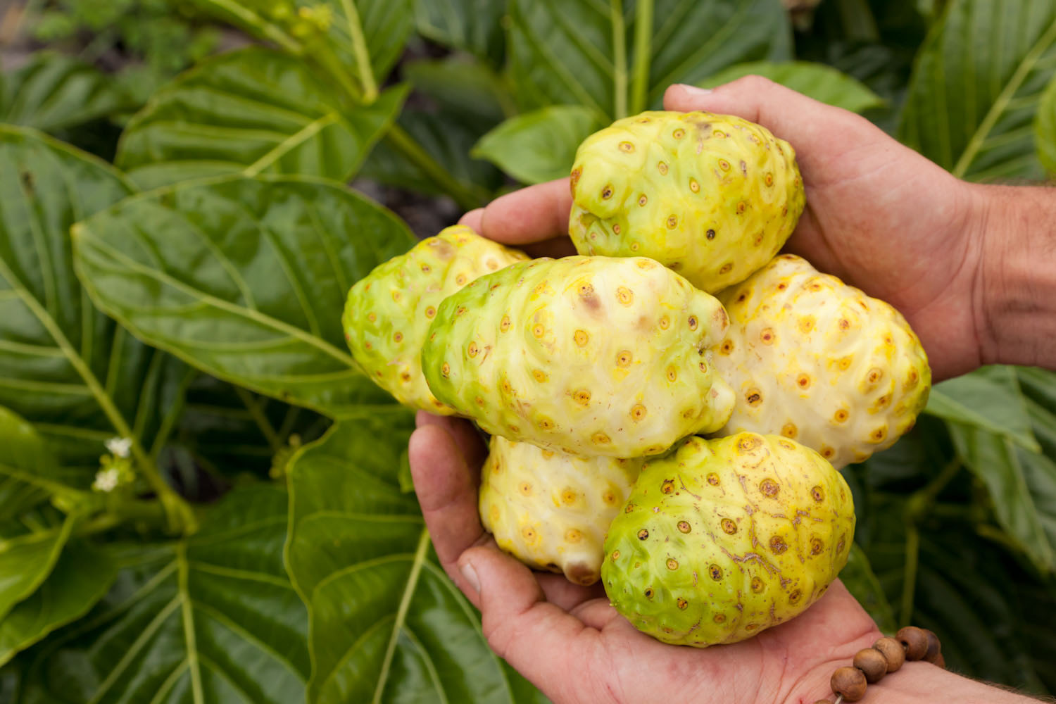 The Debate Over Pasteurizing Noni Juice — Hawaiian Ola