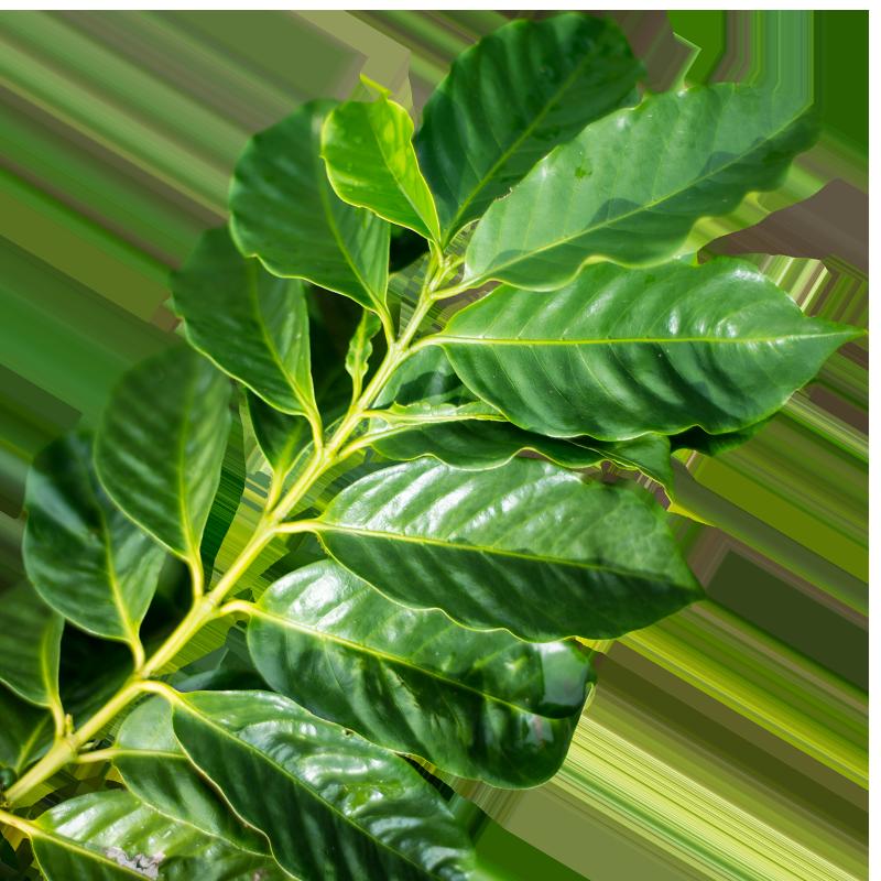 Coffee-leaf.png