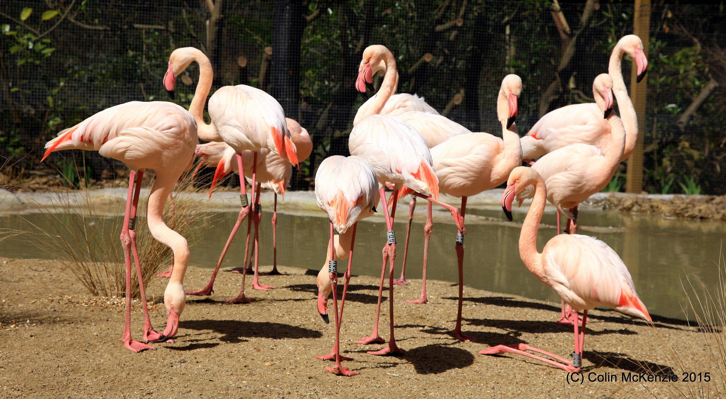 Great Flamingos at Birdworld (Credit - Colin McKenzie).JPG