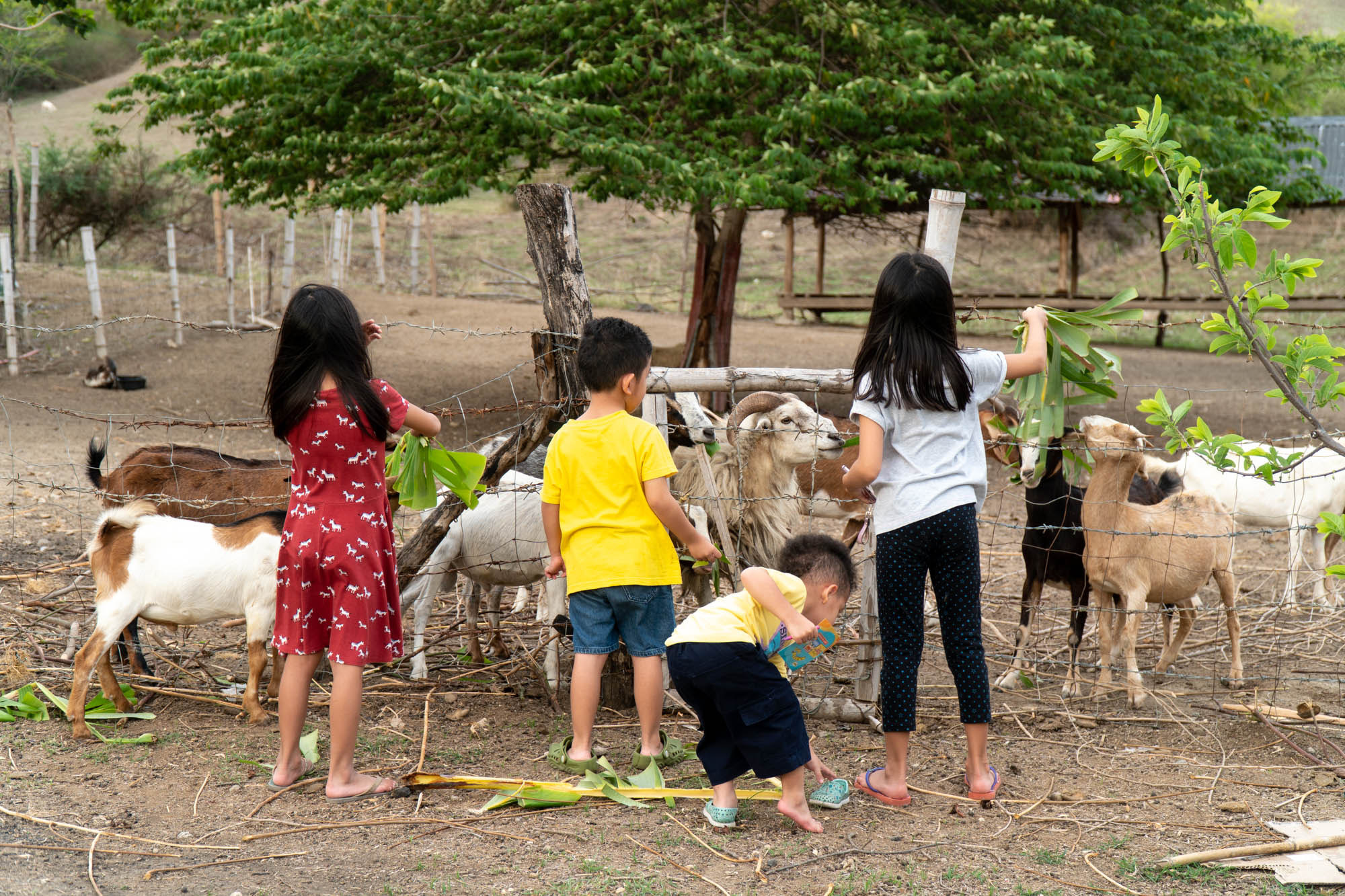 It seemed like there was no specific time for feeding as the manongs stopped whatever they were doing whenever the kids asked for some leaves for the goats.