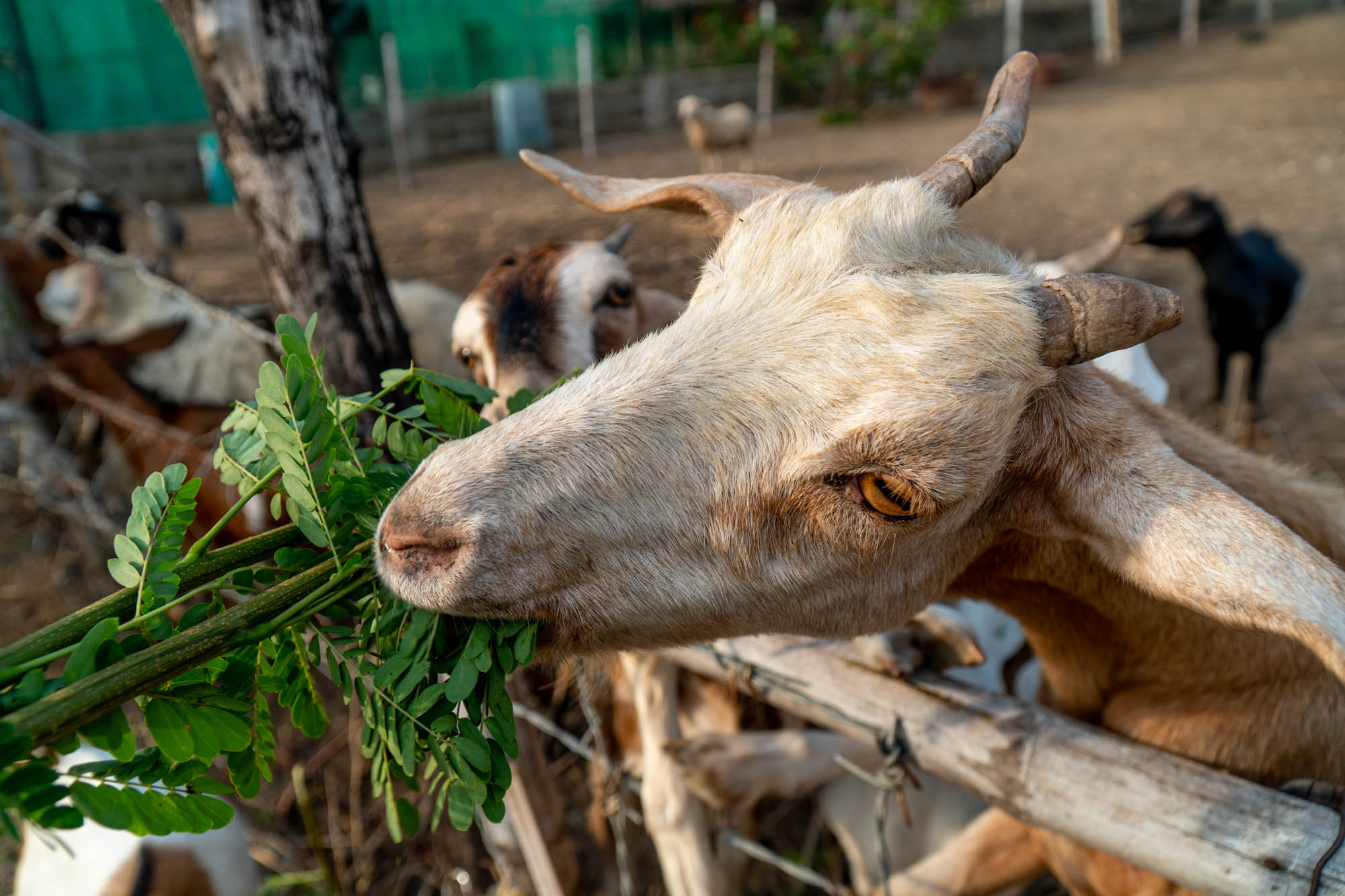 Try to get the goats to eat from the top part of the fence instead of them poking their heads through the gaps. The gaps have spiky wires so the animals could get hurt.