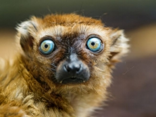 sclaters-lemur-closeup.jpg.653x0_q80_crop-smart.jpg