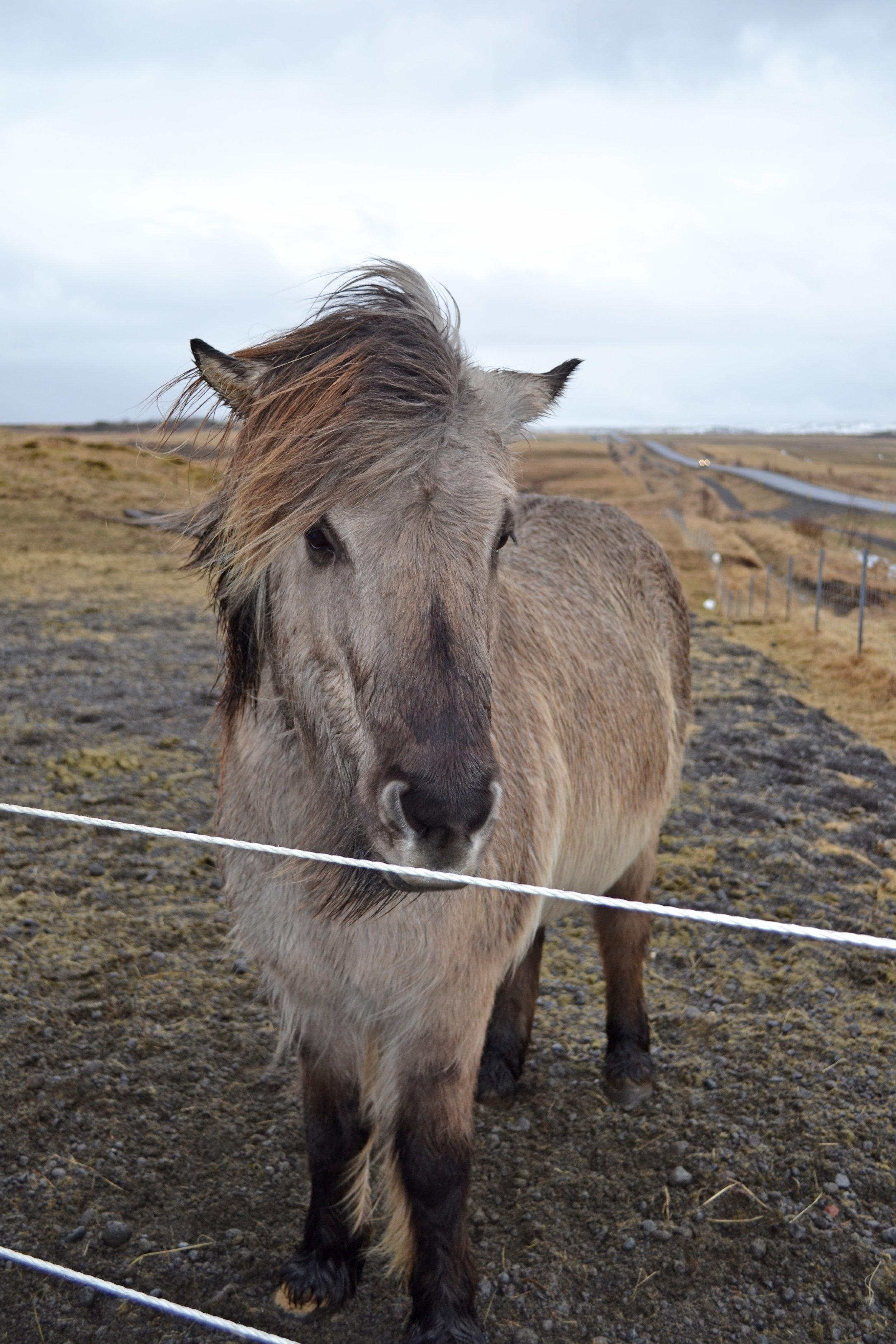 #6 - meet an Icelandic horse