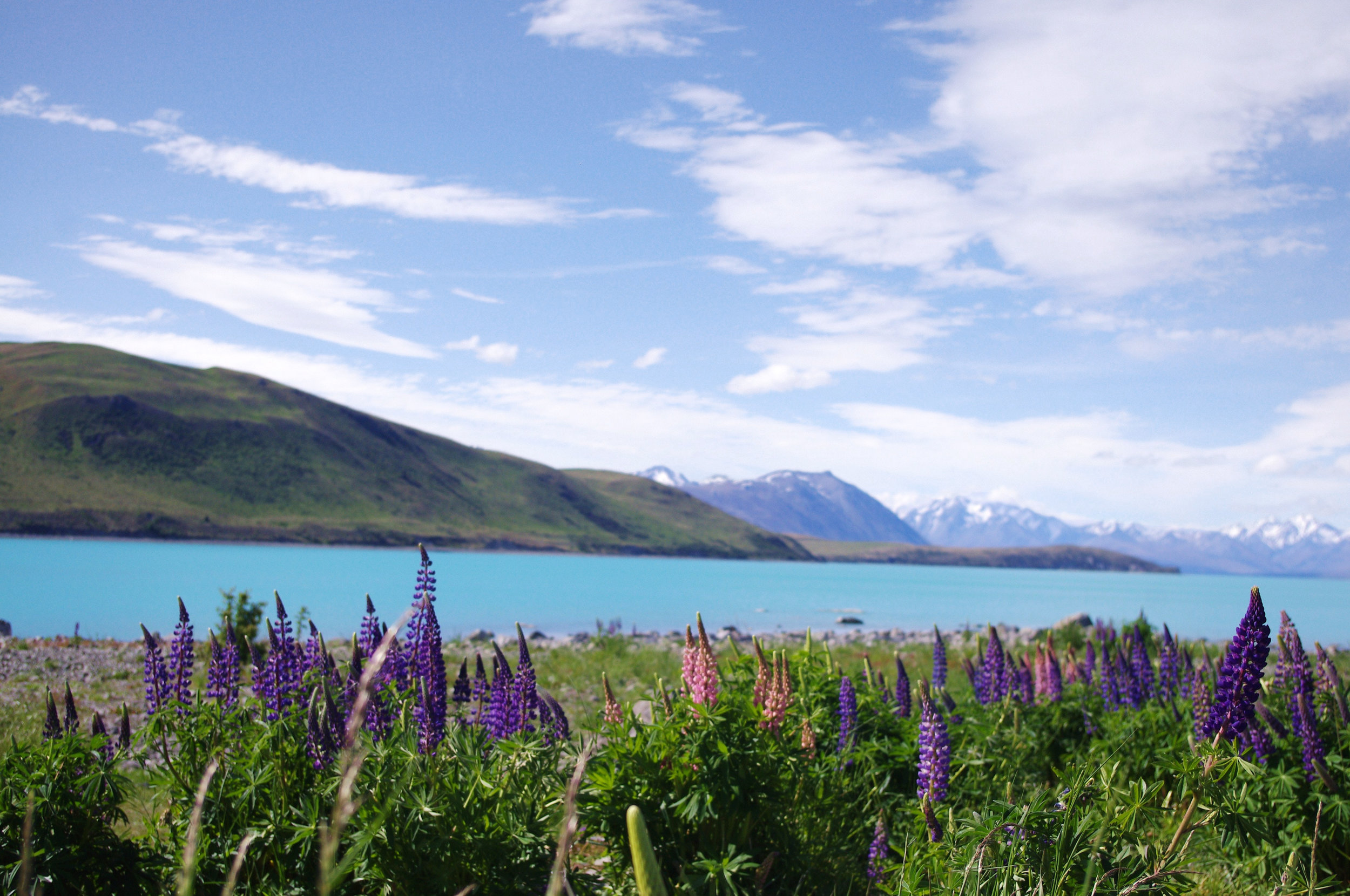 #1 - lupin hunting in lake tekapo