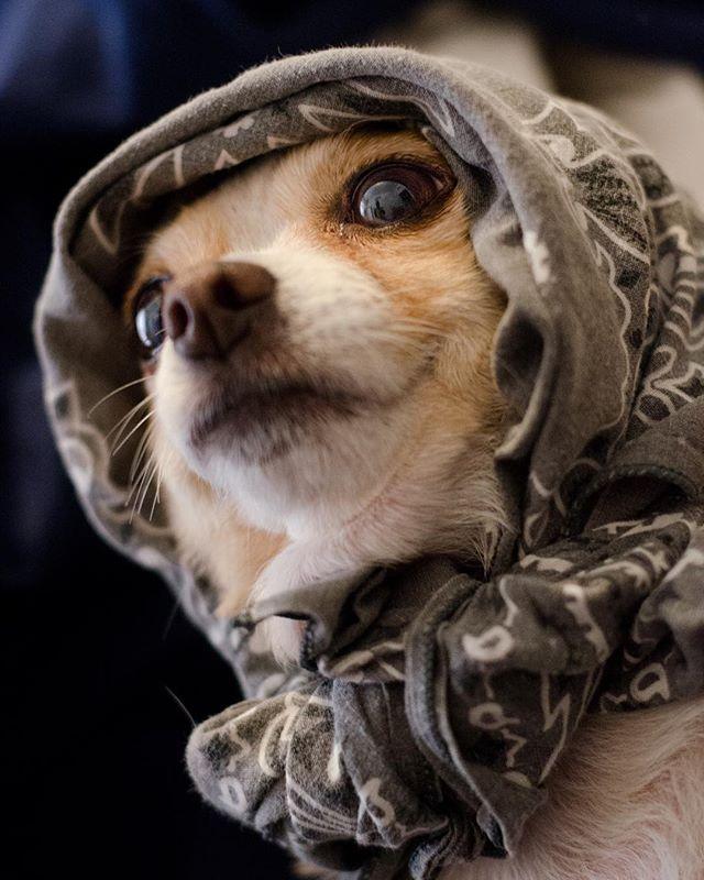 Here's a doggo: Mini. The sweetest and most courageous little chichi known. 👼 . . . . . . . . . #chicagodog #dogsofig #dogstagram #dogsofinsta #dogs #doggo #doge #pupper #bbgurl #mexican #beautifulangel #dog #dogsofinstagram #chicago #pet #chichi #chihuahua #minifatfat #chihuahuasofinstagram #babushka