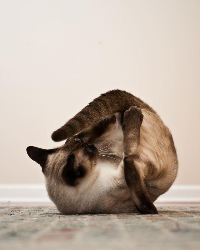 Here's a ket: Churro. Helping renew my faith in felines. #somersault . . . . . . . . #ket #cat #feline #puss #catto #catsofinstagram #catsagram #kitty #kittycat #chicagocat #losangelescat