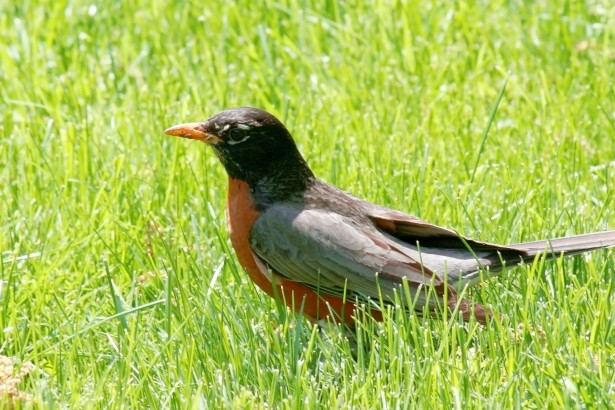 american-robin-in-grass.jpg