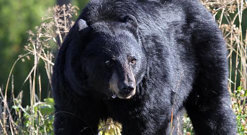 black-bear-mark-bennett-dpc.jpg