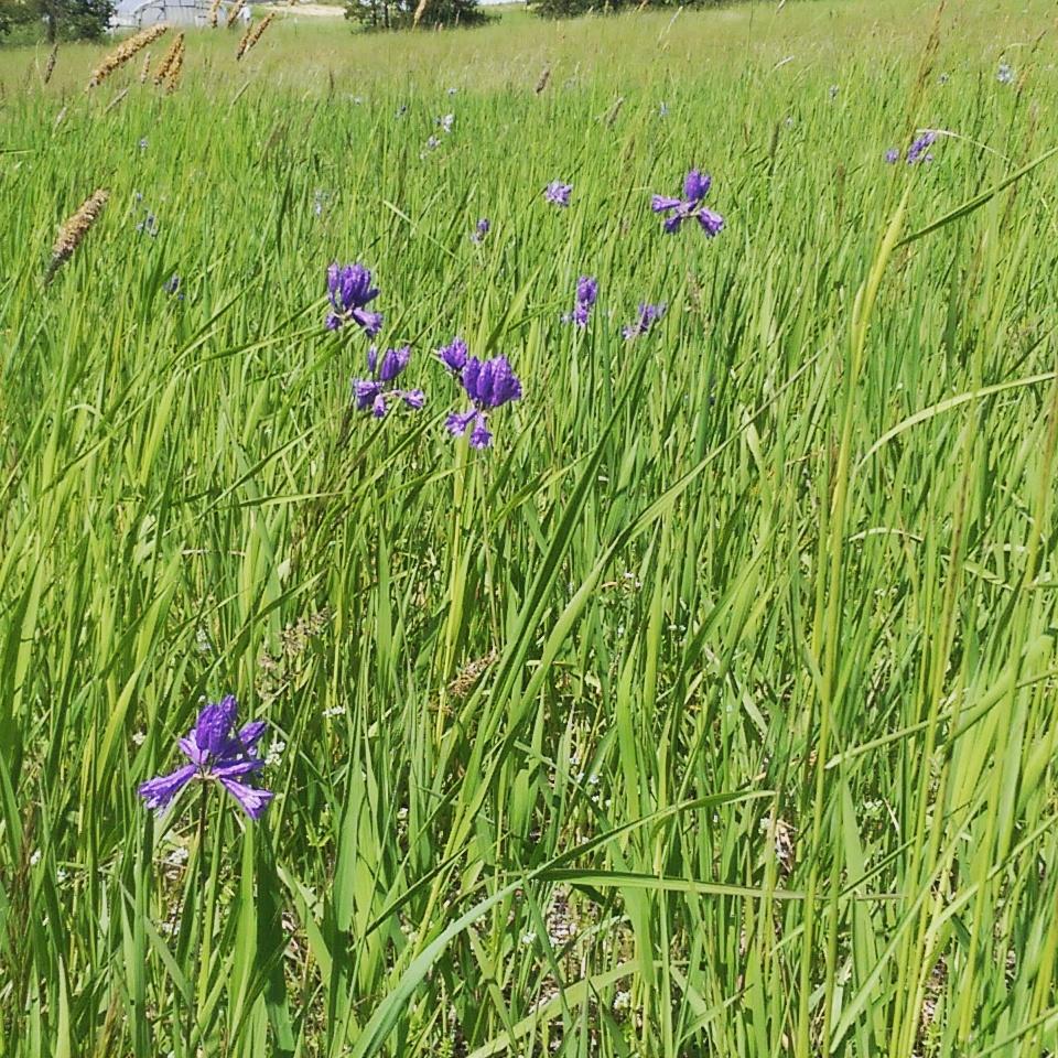 Douglas's wild hyacinth