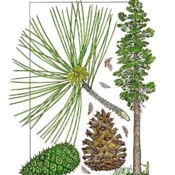 Pondersosa pine