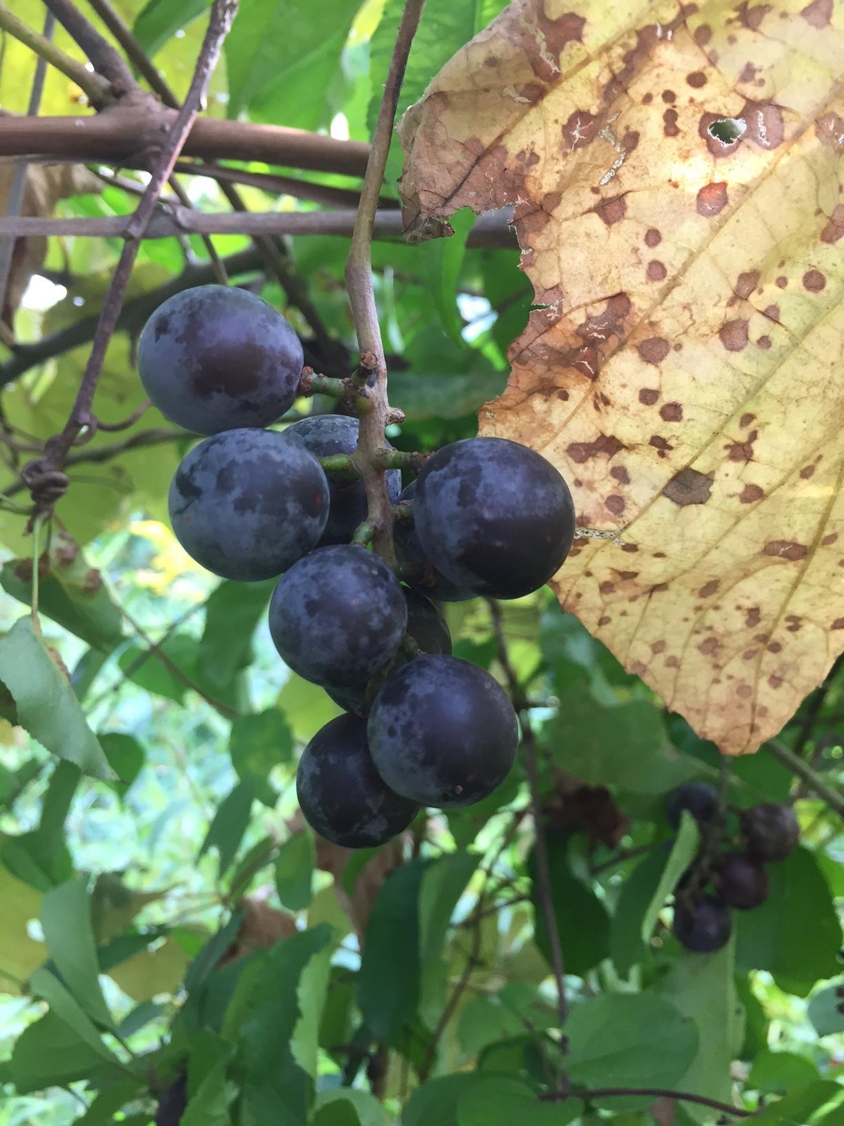 Wild Grapes 2.JPG