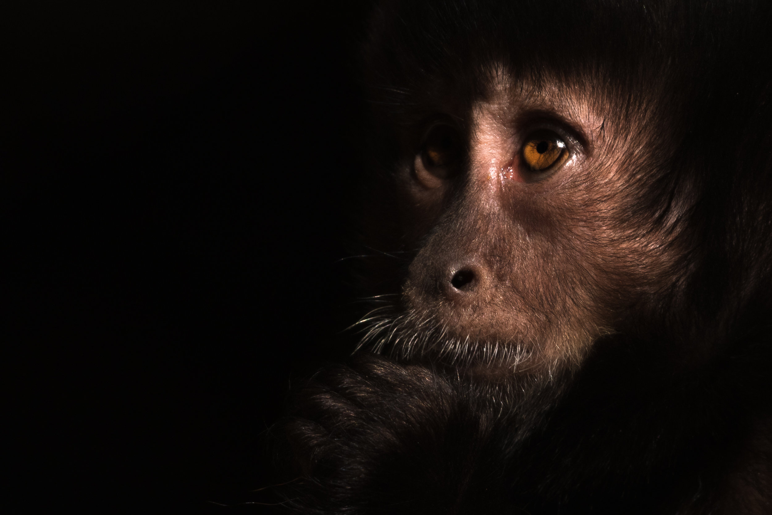 capuchin_shadow_light (1 of 1).jpg