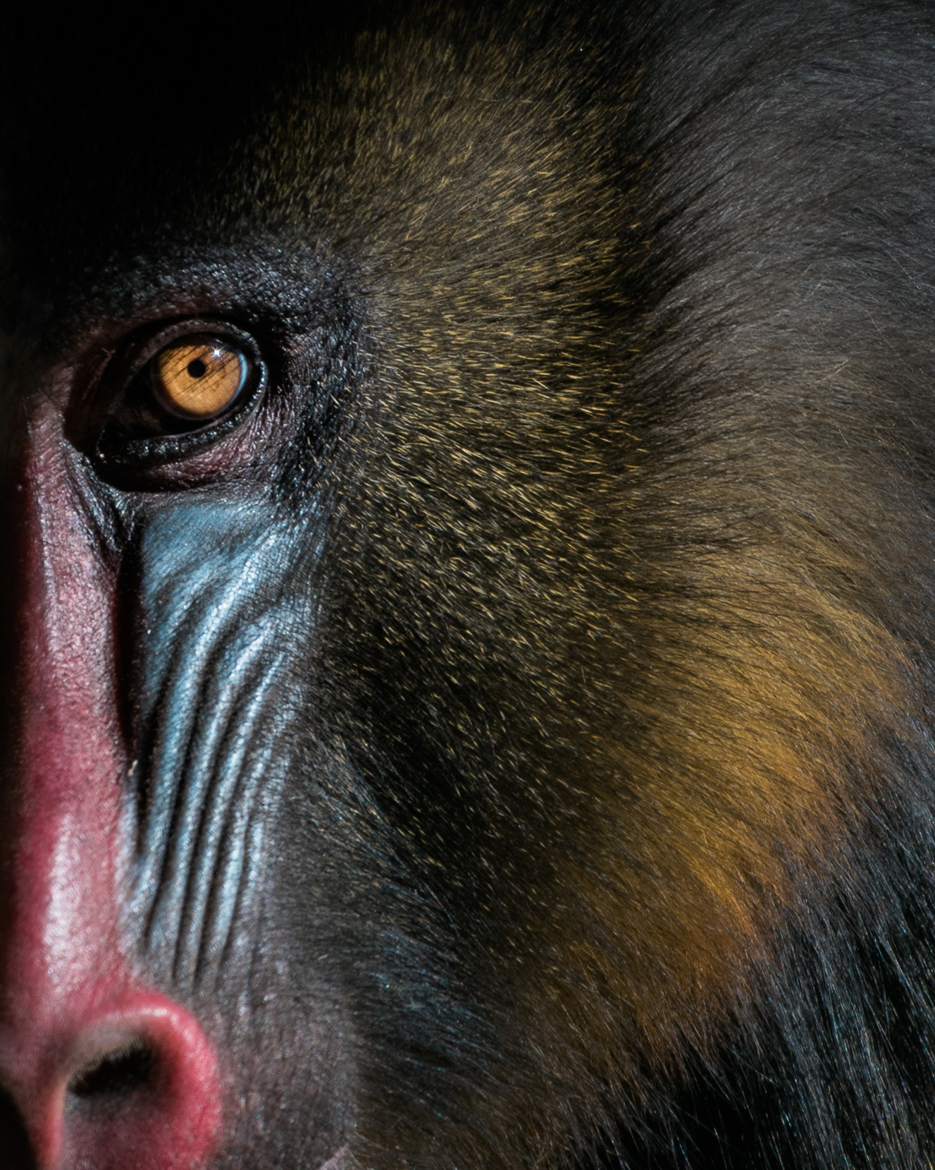 mandrill_eye (1 of 1).jpg