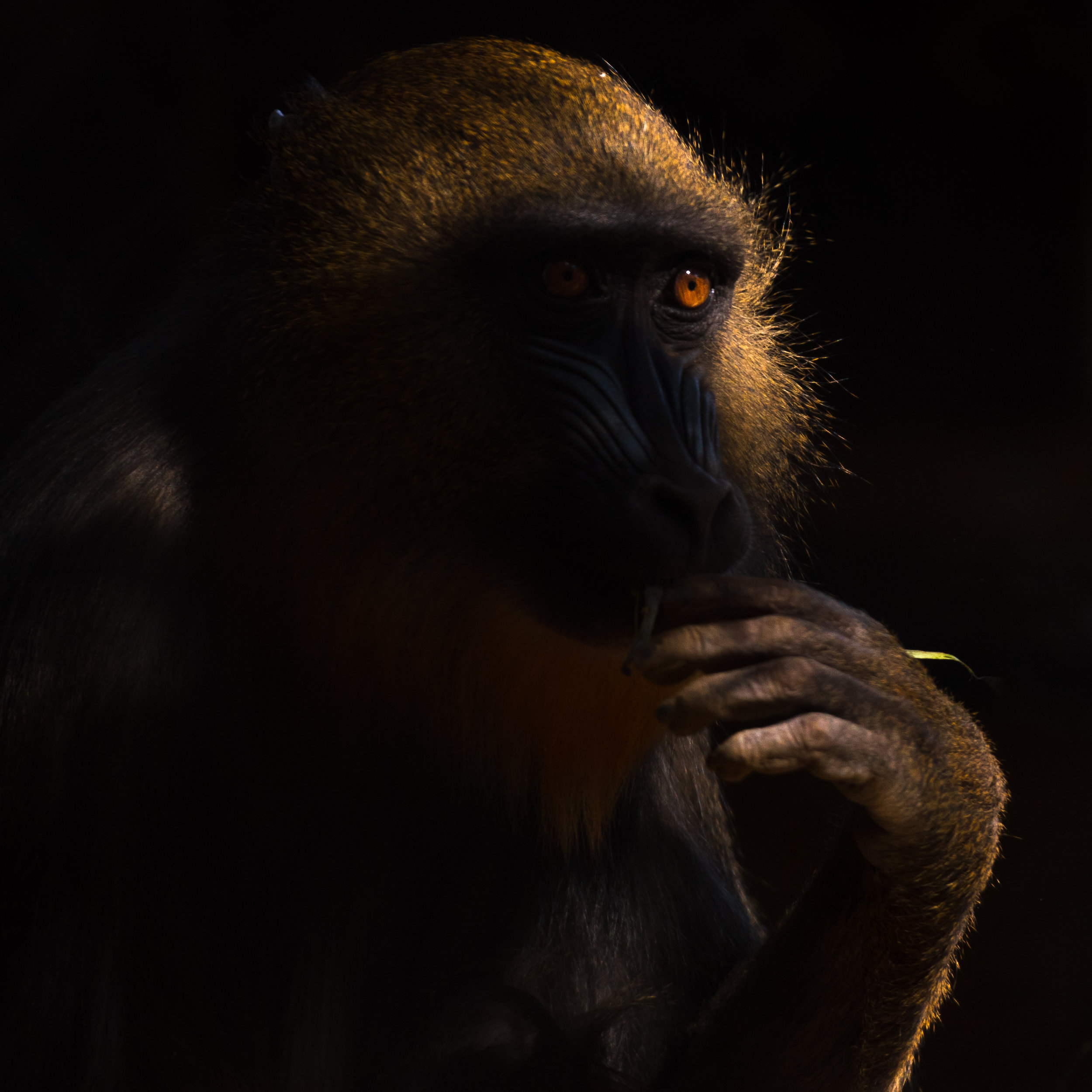 mandrill_sunlight (1 of 1).jpg