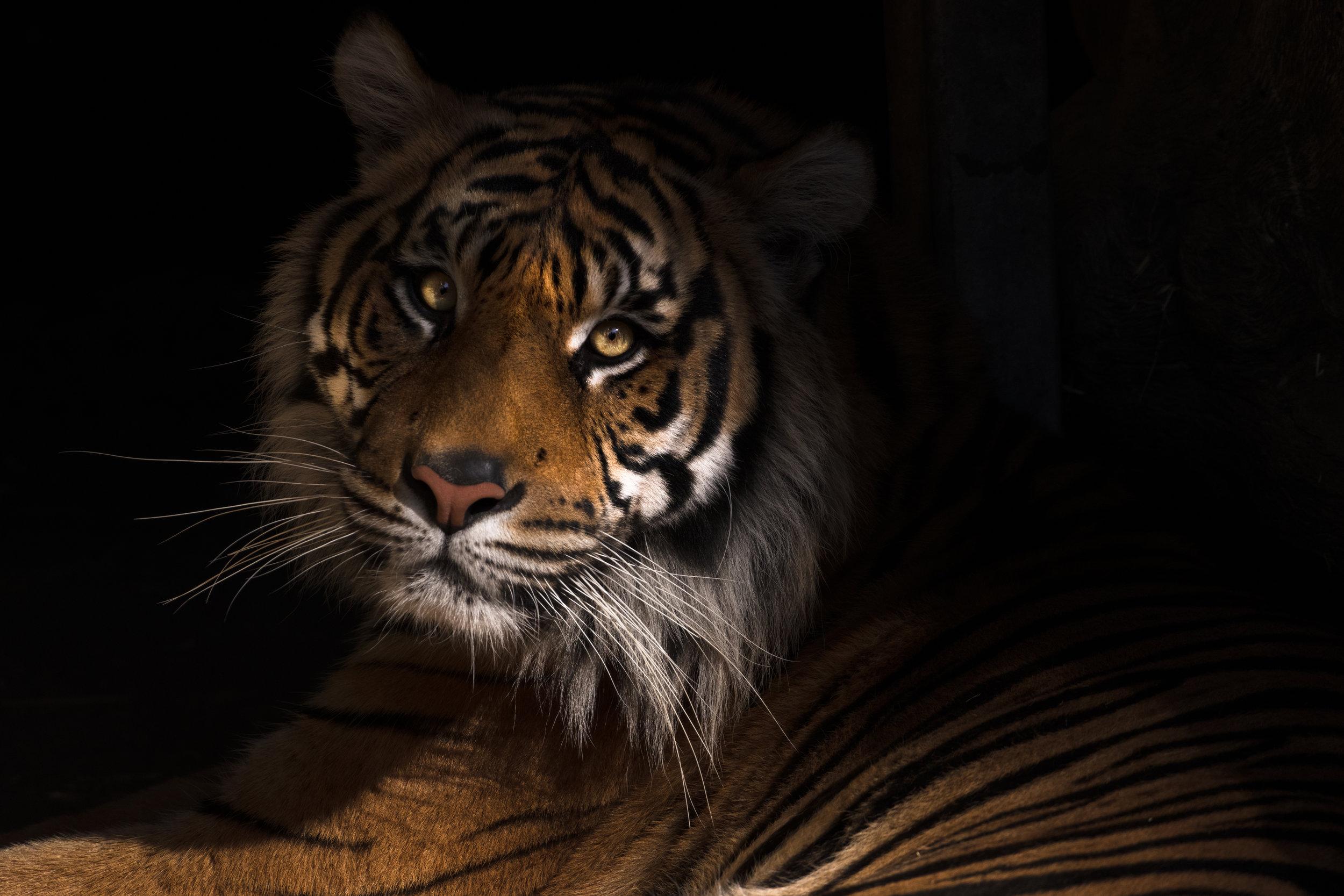 tiger (1 of 1).jpg