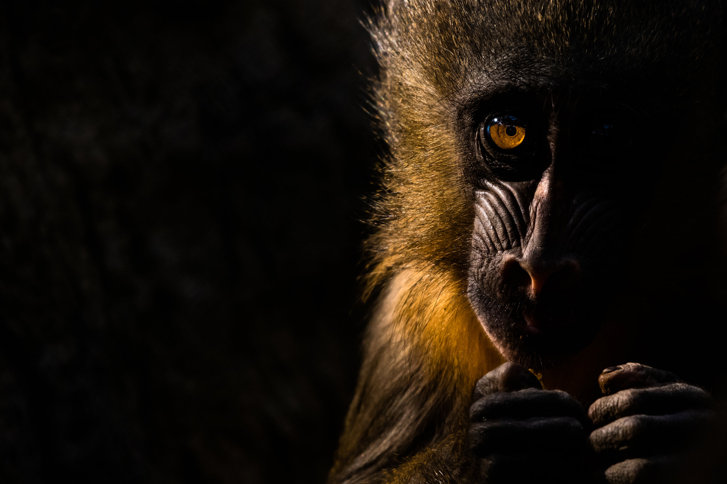 mandrill_01 (1 of 1).jpg