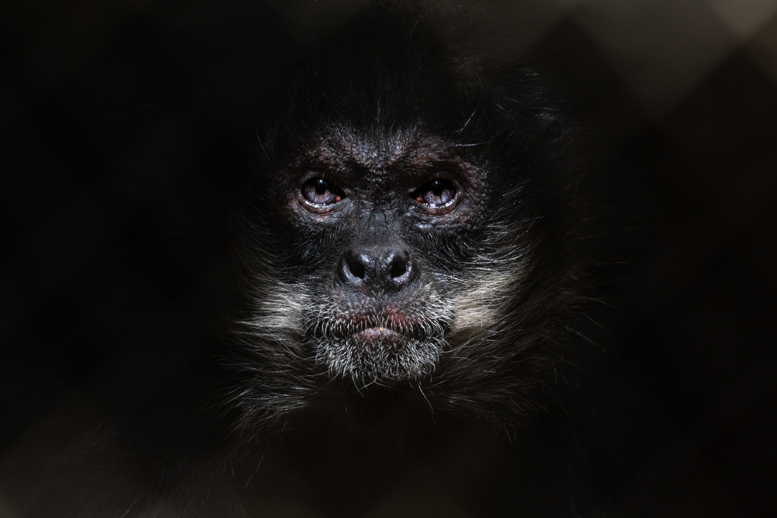 spider_monkey (1 of 1).jpg