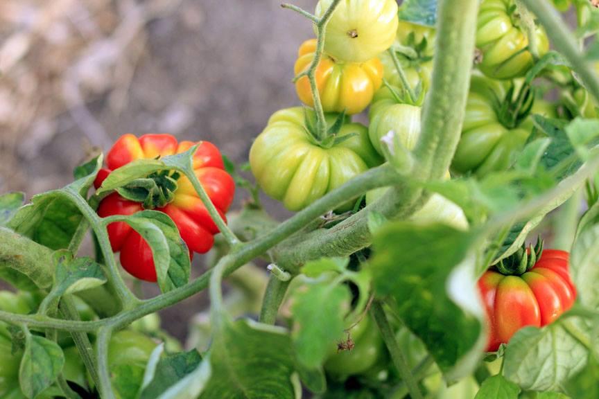 rvr-tomatoes-on-vine.jpg